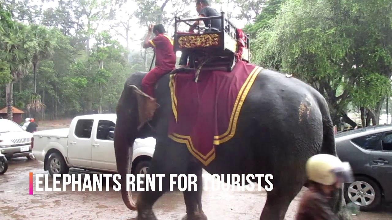 Elephants rent for tourists