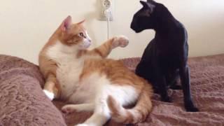 Oriental cat tears off another cat's fur _ Ориентальная кошка выдерает шерсть у кота