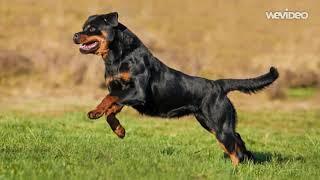 ტოპ 7 ყველაზე ძლიერი ძაღლის ჯიში
