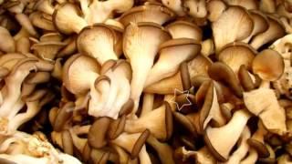 видео Как приготовить грибы вешенки, их польза и вред