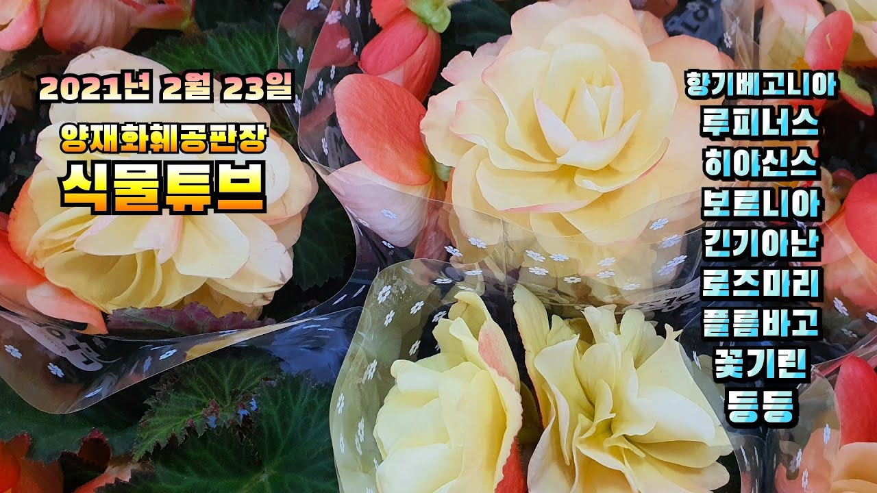 양재꽃시장 식물튜브 경매물건 브이로그~ (향베고니아,루피너스,운간초,보르니아 등등 ) #양재꽃시장 #식물튜브 #plant tube #식물아빠
