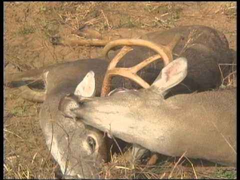 Deadly Duel White-Tailed Deer