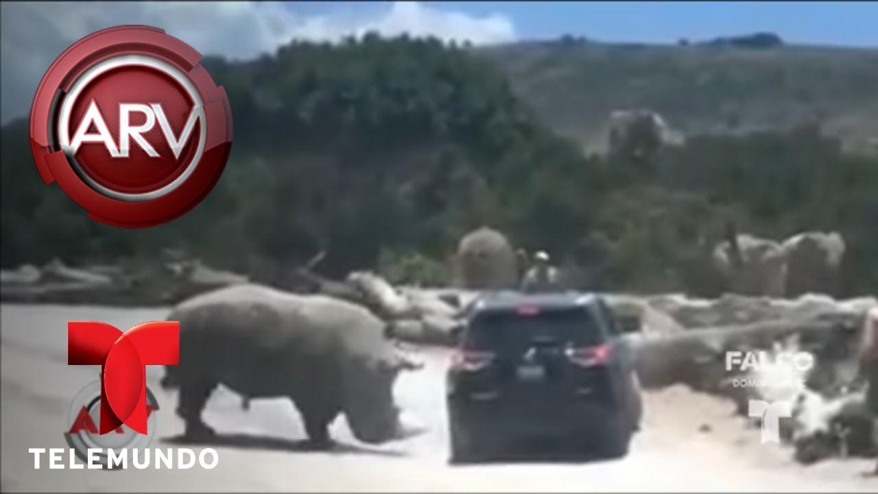 rinoceronte-atac-a-turistas-en-un-parque-en-puebla-al-rojo-vivo-telemundo