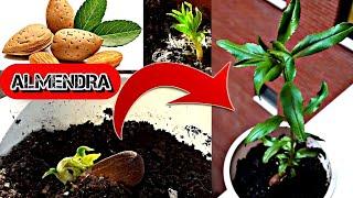 Como Germinar Almendras Con éxito Como Germinar Y Cultivar Almendra Almendro Desde Semilla Youtube