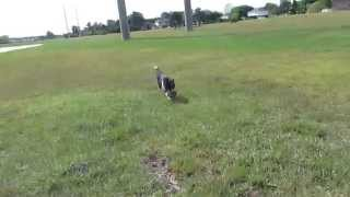 How To Teach Your Dog Not To Run Away At The Park- Prestige Retrieving And Checking In At The Park