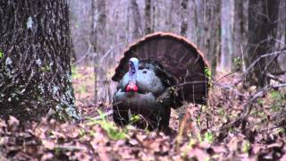 """Opening Day Gobbler"" Georgia Spring Turkey Hunting CITW E3 2015"