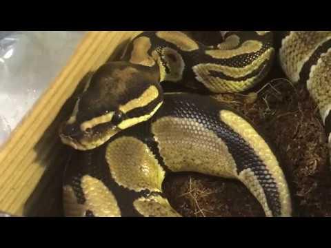 CAPITULO 82. VETERINARIO ONLINE: Veterinario de REPTILES. Sexo de las serpientes