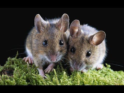 Как зимует полевая мышь
