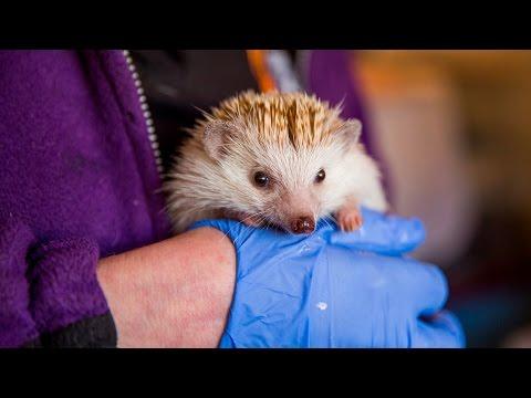 Animal Lover Turns Home Into Hedgehog Hospital: CUTE AS FLUFF