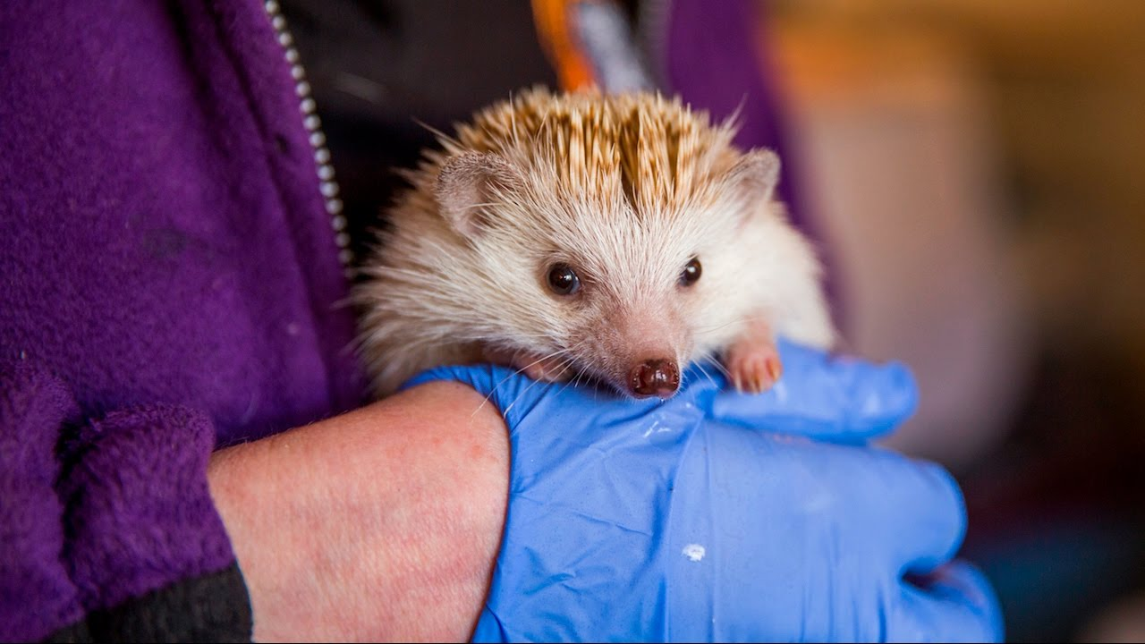 Animal Lover Turns Home Into Hedgehog Hospital