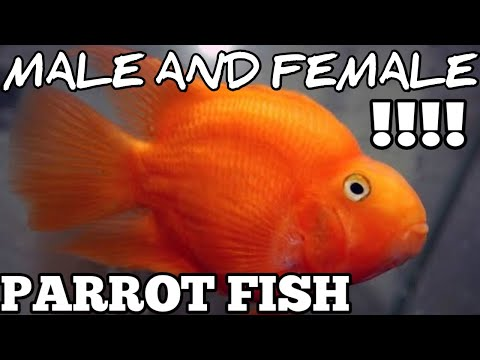 Parrot Fish Male And Female Difference | #parrotfishmaleorfemale.