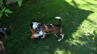 Boxer & Queensland Heeler - Keep Away W/ Dog Toy