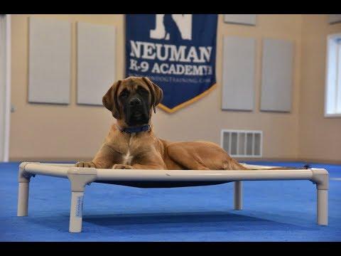 Booker (English Mastiff) Puppy Camp Dog Training Video Demonstration
