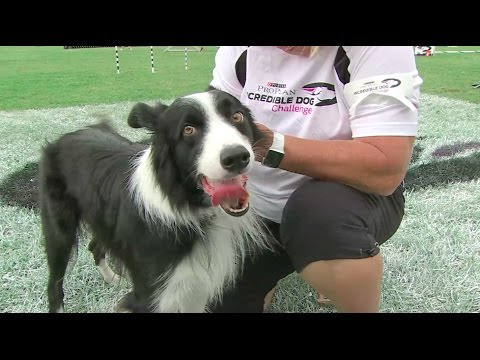 Full Large Dog Agility - 2016 Purina® Pro Plan® Incredible Dog Challenge® National Finals