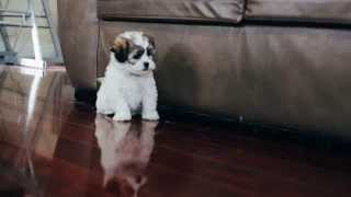 Puppies For Sale - Barkley / Gracie / Buster / Gus - Teddy Bears
