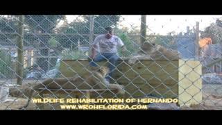 """Living with Lions"" Wildlife Rehabilitation of Hernando"