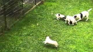 Szczeniaki Jack Russell Terrier Rozszarpują Skarpete Sąsiada