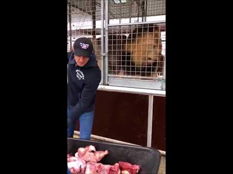 Alexander Lacey - karmienie lwów (cyrk ze zwierzętami)