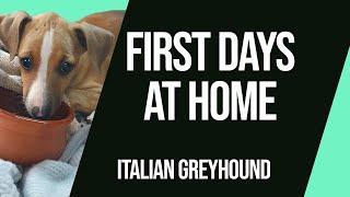 Italian Greyhound Puppy First Days at Home   Luigi the Iggy