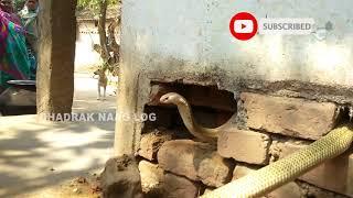 2 Cobra Snake Rescue From: Jahangir, Dahamnagar, Bhadrak