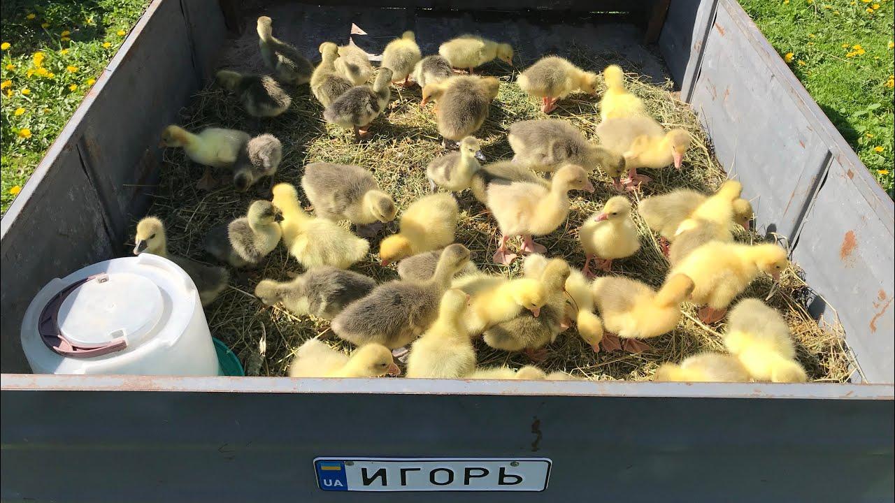 Село. Купили 40 гусей! Сами в шоке
