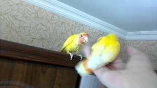 Эти ручные попугаи хотят к вам домой. Смотрите объявления об их продаже на youla. avito и  yandex