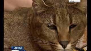 Жительница Барнаула продала машину, чтобы купить кошку редкой породы каракал