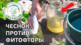 Народные средства от фитофторы. Обработка томатов чесноком.
