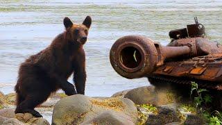 Медведь и танки на Курилах   Film Studio Aves