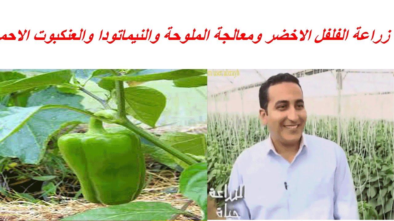 زراعة الفلفل الاخضر ومعالجة الملوحة والنيماتودا والعنكبوت الاحمر Youtube
