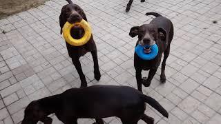 Продаются щенки курцхаара