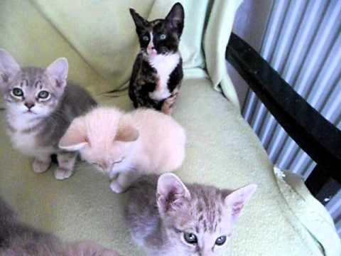 8 Australian Mist kittens and 2 Cornish Rex kittens