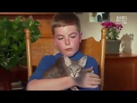 Сиамские Кошки, Порода Кошек, описание, уход