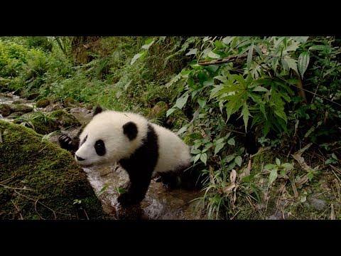 Pandas 3D — Trailer (short)