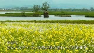 【新潟シティチャンネル】福島潟 春から夏の花めぐり