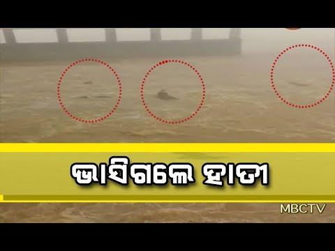 Herd of Elephants Swept Away by flood water in Mahanadi