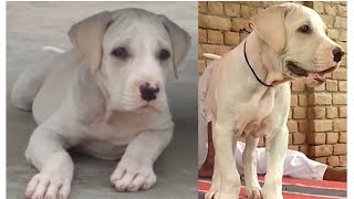 Top Quality Pakistani Bully puppies for sale || jsk pets ||
