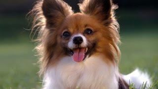 日本国内で犬の品種の認定や血統書の発行などを行う団体、ジャパンケネ...