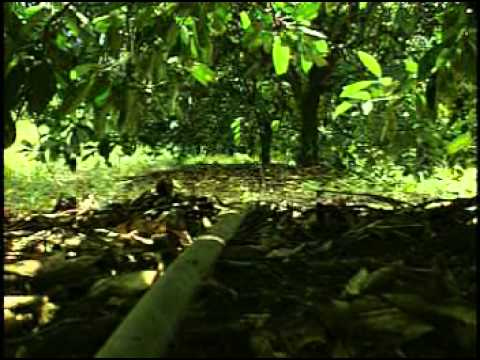 Drip Irrigated Citrus Youtube