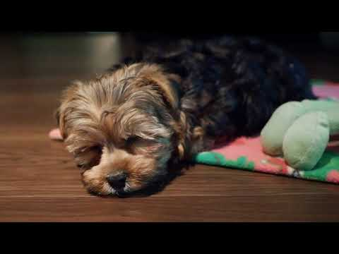 First Day Home - Yorkie Poo Puppy