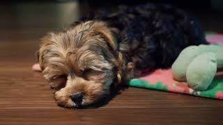 First Day Home  Yorkie Poo Puppy