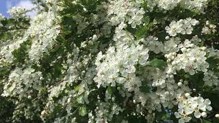 hawthorn-blossom-and-bees---a-snapshot-of-english-spring