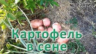 Выращивание картофеля в сене. Природное земледелие(Это видео о природном земледелии посвящено теме выращивания картофеля в сене. В сене мы выращиваем картофе..., 2015-07-29T09:41:57.000Z)