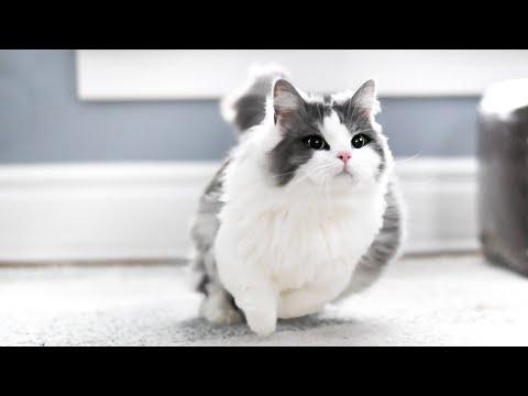 How FAST can munchkin cats run?