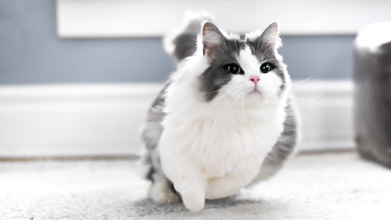 How Fast Can Munchkin Cats Run Youtube