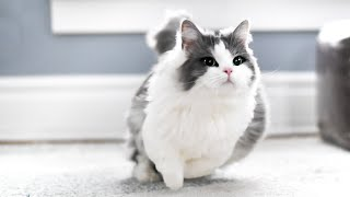 How FAST can munchkin cats run?