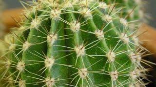 Растения пустыни в квартире. Уход за кактусами
