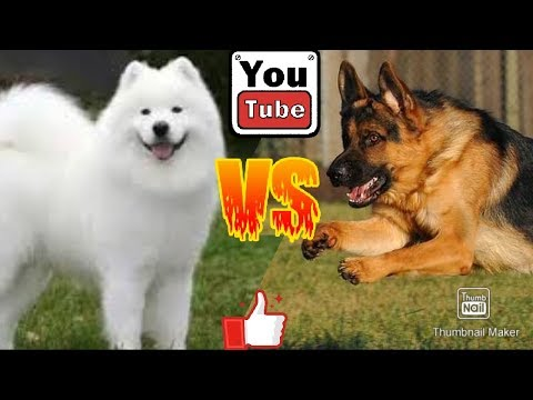 Самоед против Немецкой овчарки. Samoyed against German Shepherd. Собаки
