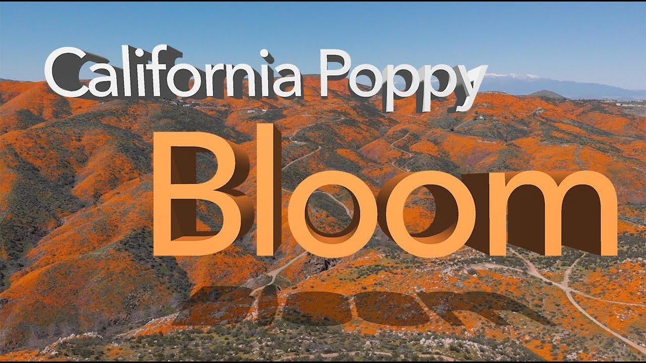 Image result for poppy in lake elsinore