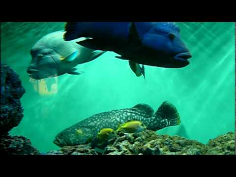 Giant grouper and Humphead wrasse.巨大魚タマカイとメガネモチノウオ。 - YouTube | 480 x 360 jpeg 14kB
